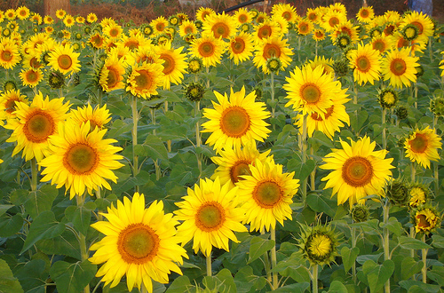 Sunflowers by Vijay