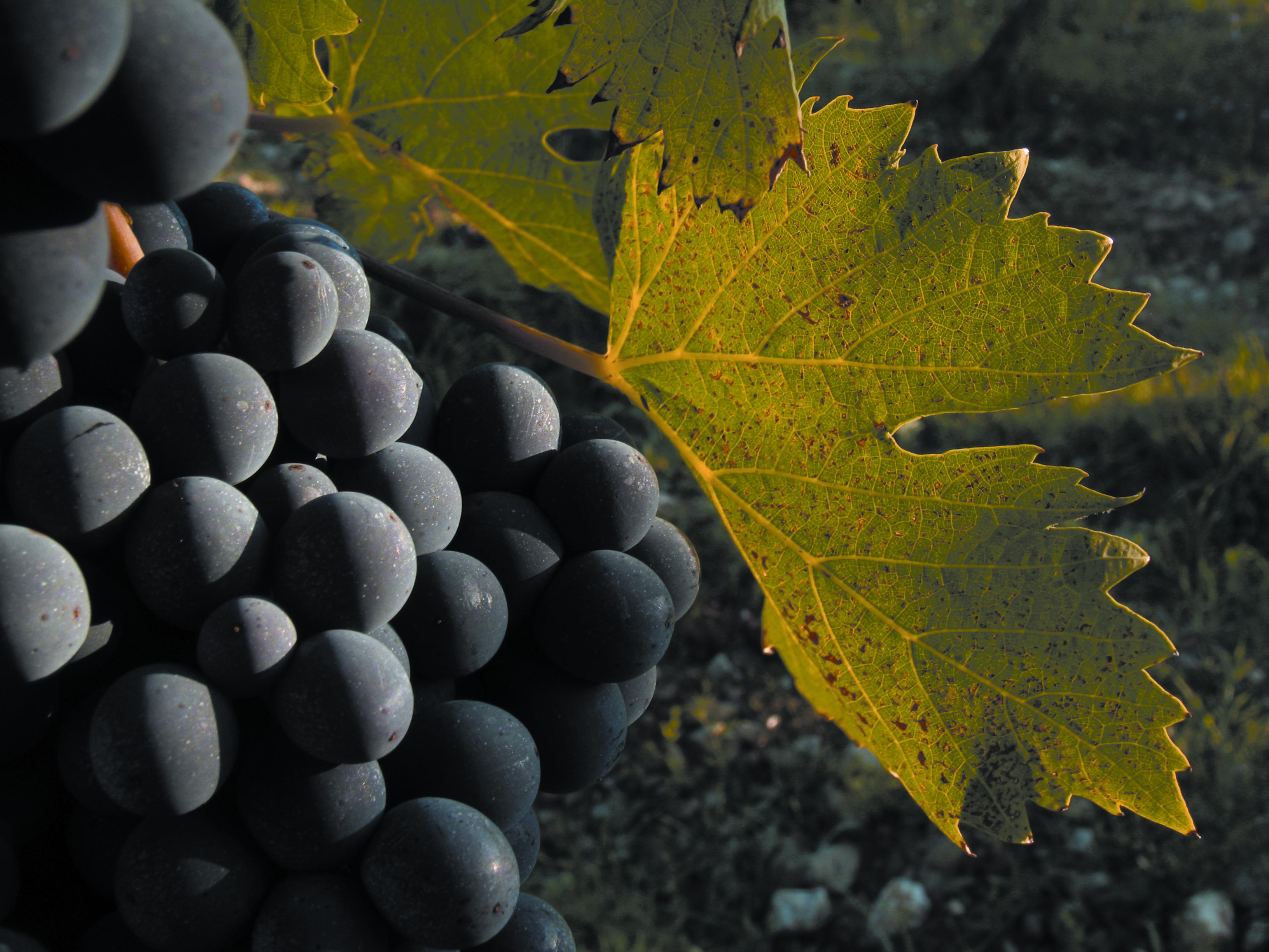 sangiovese