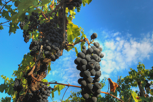 grapes in Chianti