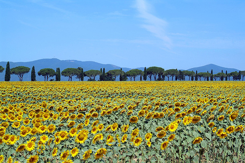 Sunflowers and a typical maremma road alternating cypress and maritime pine trees. Photo: flickr user pracucci
