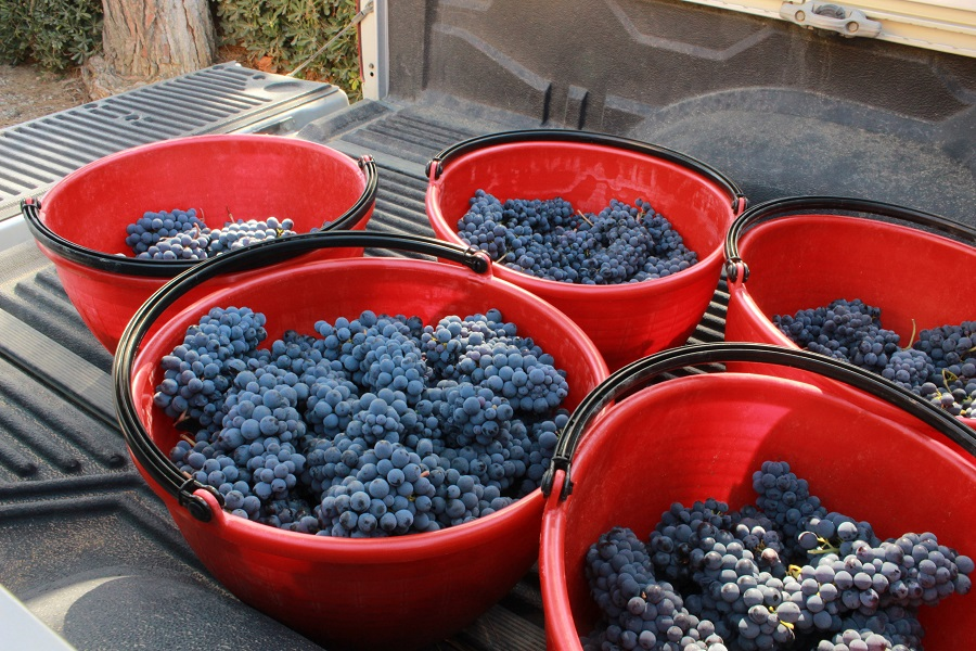 "Sangiovese grapes harvested for Morellino di Scansano ""Riserva"""
