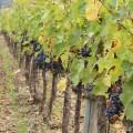 grapes_gabbiano_castle_cover