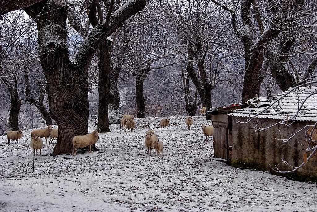 Sheeps in Arcidosso - Grosseto [Photo credits: Carlo Tardani]