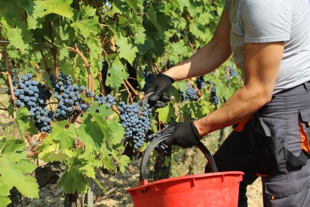 grape-harvest-tuscany