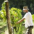 grape-harvest-pisa