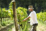grape-harvest-pisa